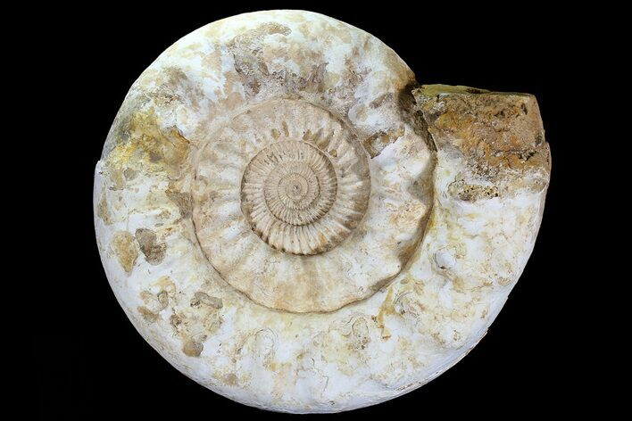 "Monster, 17"" Jurassic Ammonite Fossil - Madagascar"