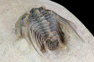 "1.35"" Spiny Leonaspis Trilobite From Morocco For Sale, #75476"