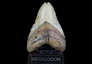 "Buy Large, 5.60"" Fossil Megalodon Tooth - North Carolina - #75538"