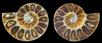 "Buy Bulk 1 - 1.25"" Cut, Agatized Ammonite Fossils - Single  - #75688"