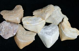 Buy Bulk Fossil Squalicorax (Crow Shark) Teeth - 10 Pack - #75739