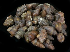 Buy Agatized Fossil Gastropods - 25 Pieces - #75751
