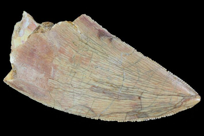 "Serrated, 2.2"" Carcharodontosaurus Tooth - Real Dinosaur Tooth"