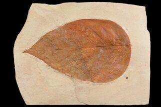"7.6"" Red Fossil Leaf (unidentified species) - Montana For Sale, #75806"