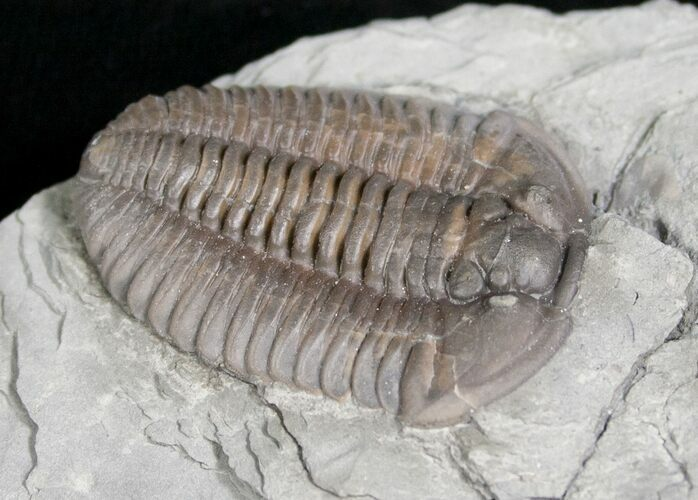 "1.3"" Flexicalymene Trilobite from Ohio - 3D"