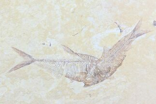 Buy Diplomystus & Knightia Fossil Fish Association - #75991