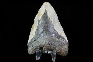 "Bargain, 3.74"" Megalodon Tooth - North Carolina For Sale, #76229"