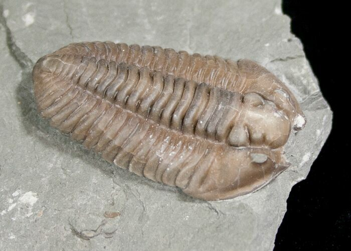 "1.1"" Flexicalymene Trilobite from Ohio - 3D"