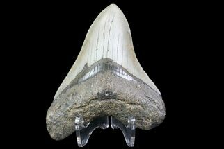 "Bargain, 3.97"" Megalodon Tooth - North Carolina For Sale, #76298"