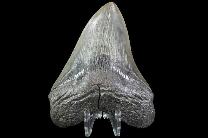 "4.18"" Fossil Megalodon Tooth - South Carolina"