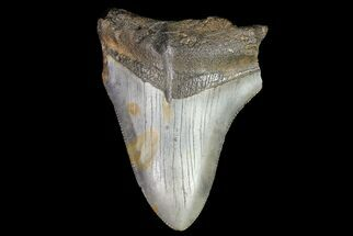 Carcharocles megalodon - Fossils For Sale - #76320