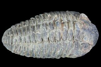 Small Acastoides Trilobite Fossil - Morocco For Sale, #76424