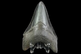 Carcharocles megalodon - Fossils For Sale - #76503