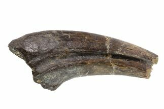 "Buy 1.5"" Struthiomimus Hand Claw - Aguja Formation, Texas - #76747"