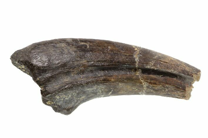 "1.5"" Struthiomimus Hand Claw - Aguja Formation, Texas"