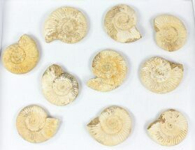 "Wholesale Lot: 3"" Perisphinctes Ammonite Fossils - 10 Pieces For Sale, #77171"