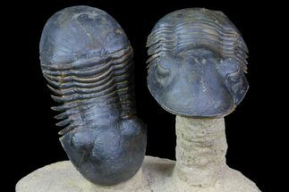 "Two ""Flying"" Paralejurus Trilobites - Foum Zguid, Morocco For Sale, #77642"