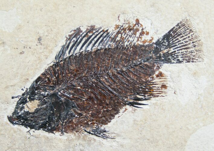 "4.4"" Priscacara Fossil Fish From Wyoming"