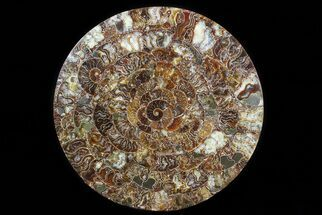 "12.2"" Composite Plate Of Agatized Ammonite Fossils For Sale, #77792"