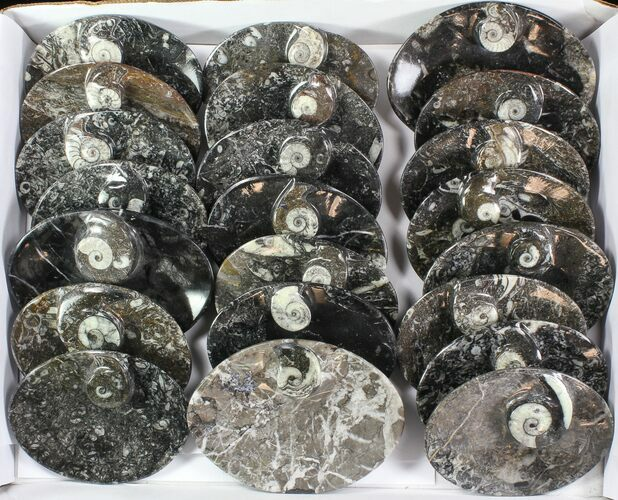 "Wholesale Lot:  5"" Goniatite Fossil Dishes - 48 Pieces"