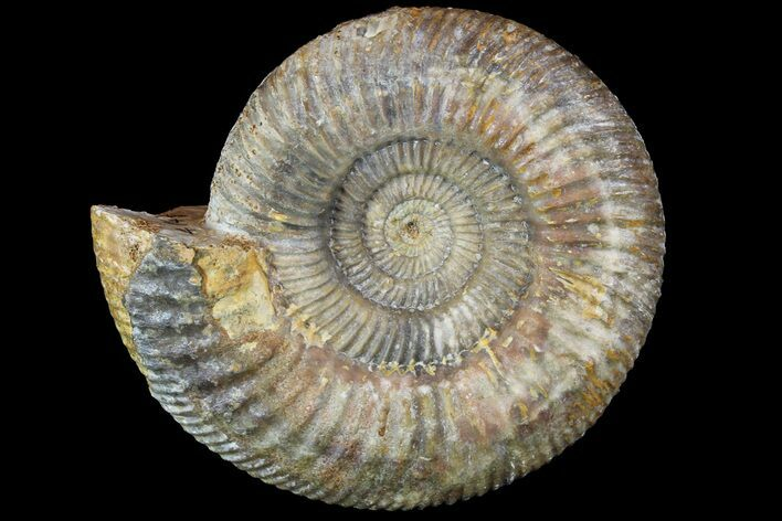 "Beautiful, 5.9"" Parkinsonia Ammonite - Dorset, England"