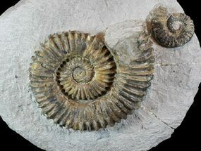 "Buy 4.1"" Aegocrioceras Ammonite With Others - Germany - #77950"