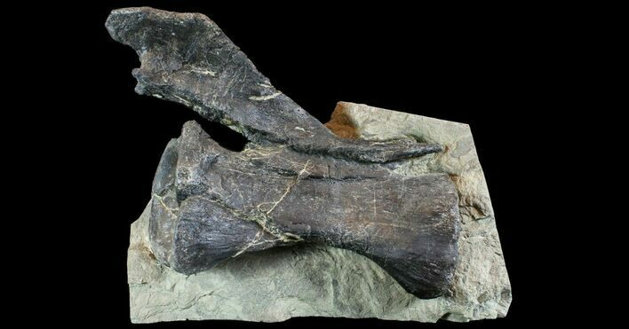 "14"" Diplodocus Vertebrae In Sandstone - Impressive Display"