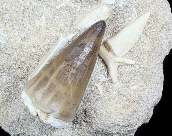 "2.25"" Mosasaur Tooth With Shark & Fish Tooth - Excellent Prep"