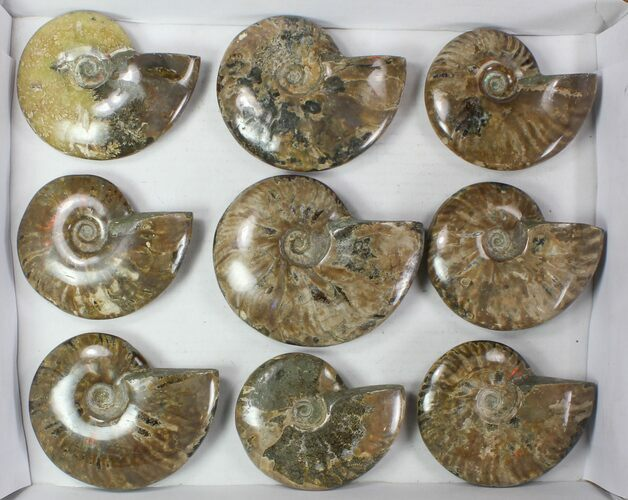 "Wholesale: 4 - 5"" Whole Polished Ammonites (Grade B/C) - 15 Pieces"