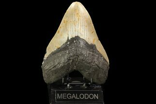"Buy 6.06"" Fossil Megalodon Tooth - 50+ Foot Shark - #75532"