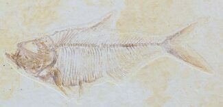 "Buy Detailed, 3.7"" Diplomystus Fossil Fish - Wyoming - #79072"