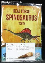 Real Fossil Spinosaurus Teeth (Pre-packaged) - Morocco For Sale, #79334