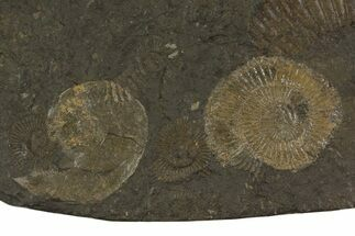 "Buy 5"" Dactylioceras Ammonite Plate - Posidonia Shale, Germany - #79315"