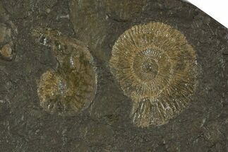 Dactylioceras - Fossils For Sale - #79320