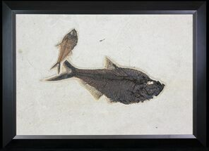 "Buy 29.5"" Wide, Framed Fossil Fish (Diplomystus) Plate - Wyoming - #79366"