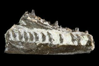 "1.05"" Permian Synapsis (Mycterosaurus) Jaw Section - Oklahoma For Sale, #79466"