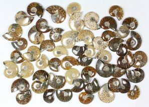 Various - Fossils For Sale - #79350