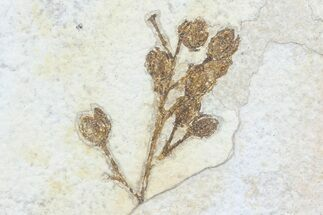 Elderberry? - Fossils For Sale - #79551