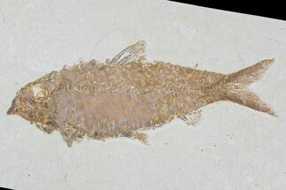 "4"" Knightia Fossil Fish - Wyoming For Sale, #79886"