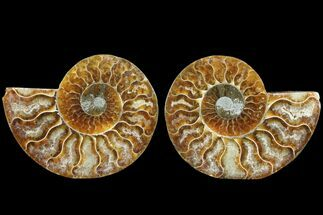 Cleoniceras - Fossils For Sale - #78369