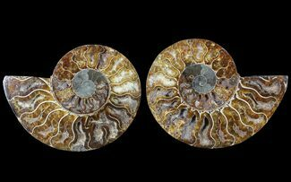 "5.9"" Cut & Polished Ammonite Pair - Agatized For Sale, #79709"