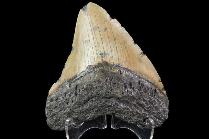 "4.50"" Fossil Megalodon Tooth - North Carolina"