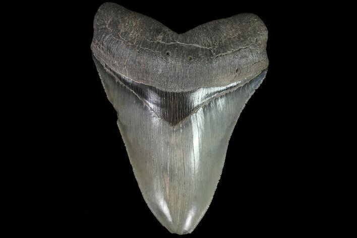 "Serrated, 5.76"" Fossil Megalodon Tooth - Beautiful Color"
