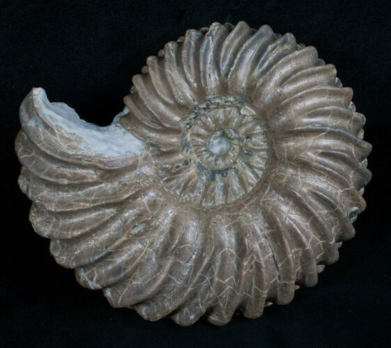 "4.5"" Hoplites Dentatus Ammonite France"