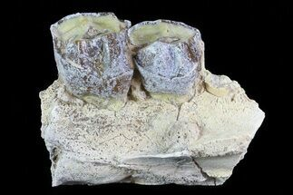 Hyracodon nebraskensis - Fossils For Sale - #80154