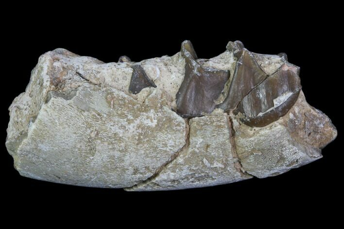 "2.4"" Hyracodon (Running Rhino) Jaw Section - South Dakota"