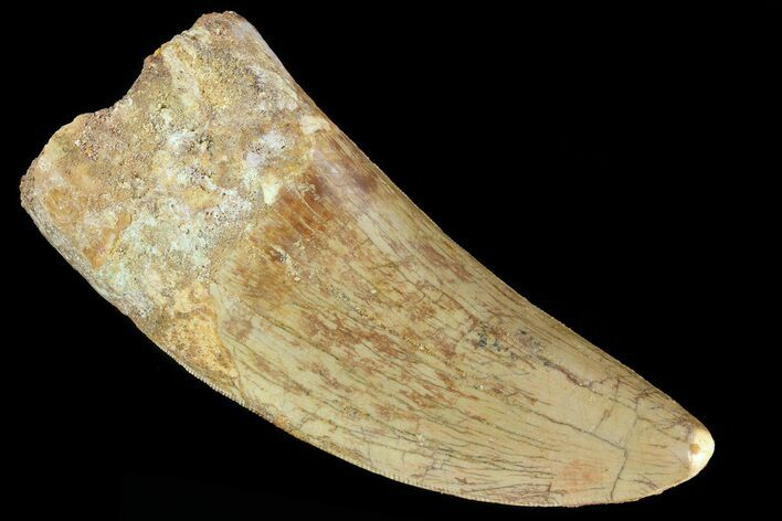 "Large, 3.53"" Carcharodontosaurus Tooth - Real Dinosaur Tooth"