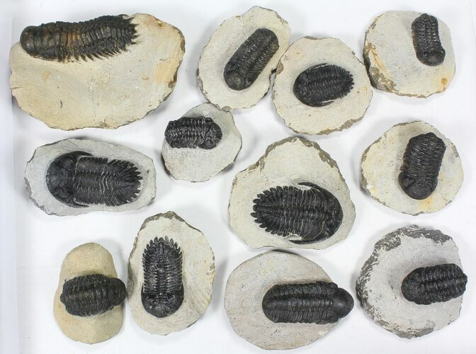 Wholesale Lot: Assorted Devonian Trilobites - 12 Pieces