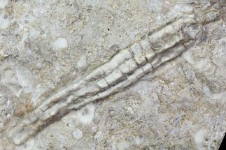 "3.1"" Fossil Crinoid (Synbathocrinus) - Reed Springs Formation, MO For Sale, #80804"