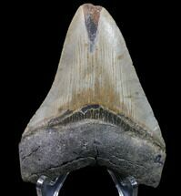 "Bargain, 3.79"" Megalodon Tooth - North Carolina For Sale, #80858"